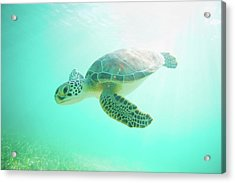 Sea Turtle Baby Acrylic Print by Monica and Michael Sweet