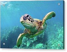 Sea Turtle, Hawaii Acrylic Print by Monica and Michael Sweet