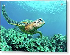 Sea Turtle In Coral, Hawaii Acrylic Print by M Sweet