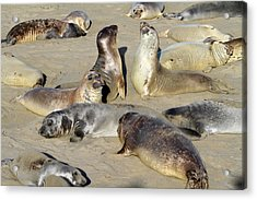 Seals On The Beach Acrylic Print by Donna Kennedy