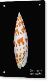 Seashell In Fishnet Acrylic Print by Bill Brennan - Printscapes