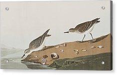 Semipalmated Sandpiper Acrylic Print by John James Audubon