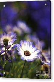 Senetti Dreams Acrylic Print by Dorothy Lee