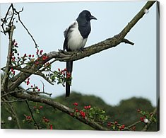 September Magpie Acrylic Print by Philip Openshaw