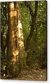 September Sycamore Acrylic Print by Larry Darnell