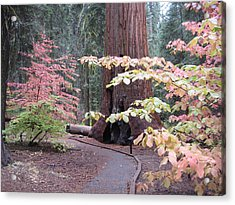 Sequoia  Trees 3 Acrylic Print by Naxart Studio