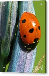 Seven Spotted Lady Beetle Acrylic Print by Katie LaSalle-Lowery