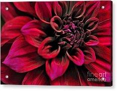 Shades Of Red - Dahlia Acrylic Print by Kaye Menner