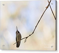 Shadow Hummer Acrylic Print by Kate Brown