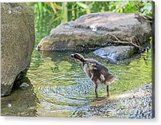 Shake It Off Acrylic Print by Kate Brown
