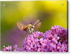 Like A Rainbow - Broad Bordered Bee Hawk-moth Acrylic Print by Roeselien Raimond