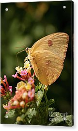 She Wears Her Heart On Her Wing Acrylic Print by Ana V Ramirez