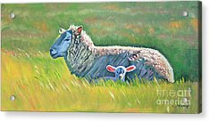 Sheep At Red Hill Farms Acrylic Print by Colleen Proppe