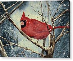 Shelly's Cardinal Acrylic Print by Sam Sidders