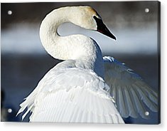 Showing Off Acrylic Print by Larry Ricker
