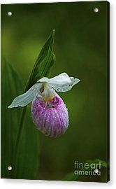 Showy Lady's Slipper.. Acrylic Print by Nina Stavlund