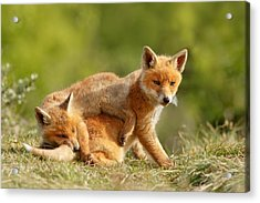 Sibbling Love - Playing Fox Cubs Acrylic Print by Roeselien Raimond
