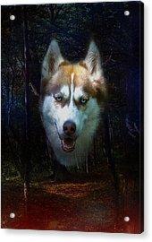 Siberian Husky Acrylic Print by Brian Roscorla