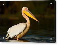 Side Profile Of A Great White Pelican Acrylic Print by Panoramic Images
