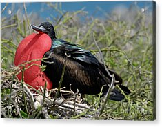 Side View Of Great Frigate Bird In Shrub Acrylic Print by Sami Sarkis