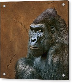 Silverback Stare - Gorilla Acrylic Print by Nikolyn McDonald