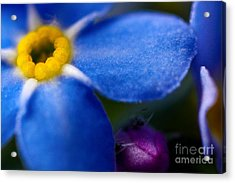 Single Blue Wood-forget-me-not Acrylic Print by Ryan Kelly
