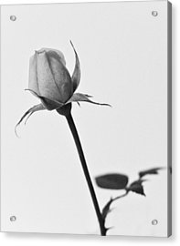 Single Rose Acrylic Print by Ryan Kelly