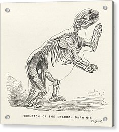 Skeleton Of Mylodon Darwinii From The Acrylic Print by Vintage Design Pics