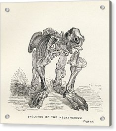 Skeleton Of The Megatherium From The Acrylic Print by Vintage Design Pics