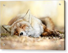 Sleeping Beauty -red Fox In Rest Acrylic Print by Roeselien Raimond