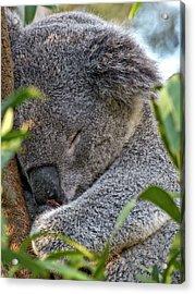 Sleeping Koala - Canberra - Australia Acrylic Print by Steven Ralser
