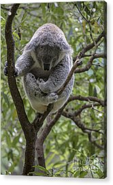 Sleepy Koala Acrylic Print by Avalon Fine Art Photography