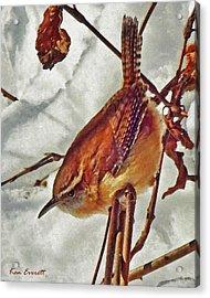 Slim Pickens, Carolina Wren Acrylic Print by Ken Everett