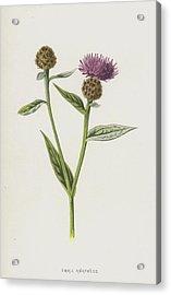 Small Knapweed  Acrylic Print by Frederick Edward Hulme