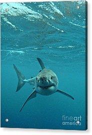 Smiley Shark Acrylic Print by Crystal Beckmann