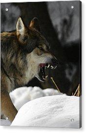 Snarling Wolf Acrylic Print by Ernie Echols