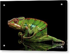 Sneaking Panther Chameleon, Reptile With Colorful Body On Black Mirror, Isolated Background Acrylic Print by Sergey Taran
