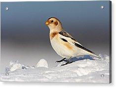 Snow Bunting (plectrophenax Nivalis) Acrylic Print by Mircea Costina