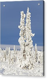Snow Covered Spruce Trees Acrylic Print by Tim Grams