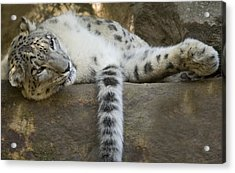 Snow Leopard Nap Acrylic Print by Mike  Dawson