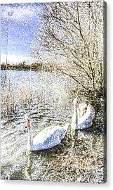 Snow Swans Art Acrylic Print by David Pyatt