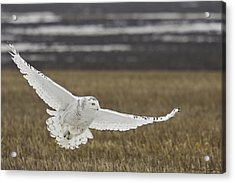 Snowy Owl In Flight Acrylic Print by Michaela Sagatova