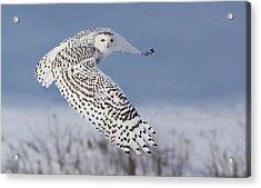 Snowy Owl Acrylic Print by Mircea Costina