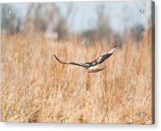 Soaring Hawk Over Field Acrylic Print by Douglas Barnett