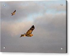 Soaring Pair Acrylic Print by Mike  Dawson