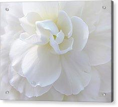 Soft Ivory Begonia Flower Acrylic Print by Jennie Marie Schell