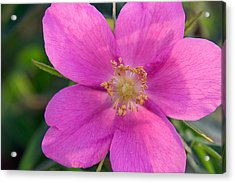 Soft Light On Nootka Rose Rosa Nutkana Acrylic Print by Ralph Lee Hopkins
