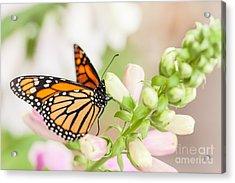 Soft Spring Butterfly Acrylic Print by Ana V Ramirez