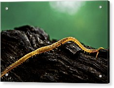 Soil Centipede Acrylic Print by Ryan Kelly