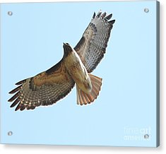 Somewhere In The Sky A Red Tailed Hawk Soars Acrylic Print by Wingsdomain Art and Photography